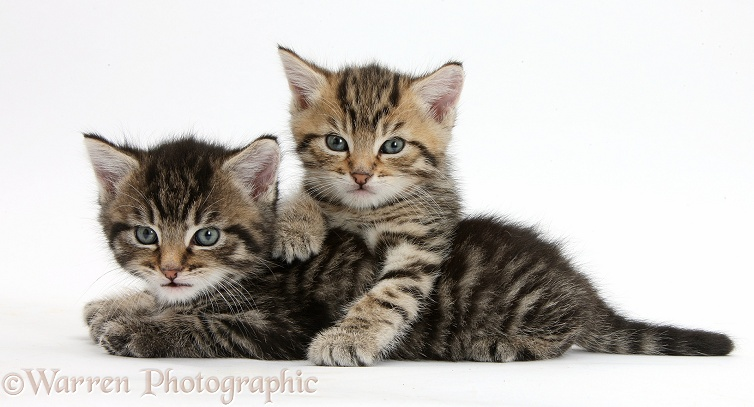 Cute tabby kittens, Stanley and Fosset, 5 weeks old, white background