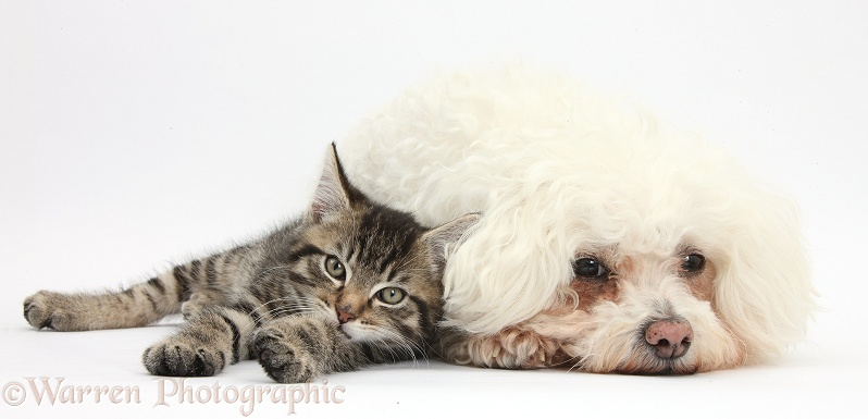Cute tabby kitten, Fosset, 9 weeks old, with Bichon Frise, Poppy, white background