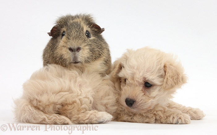 Bichon Frise x Yorkshire Terrier pup, 6 weeks old, and Guinea pig, white background