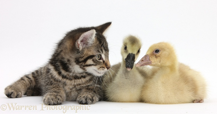 Cute tabby kitten, Fosset, 9 weeks old, with yellow goslings, white background