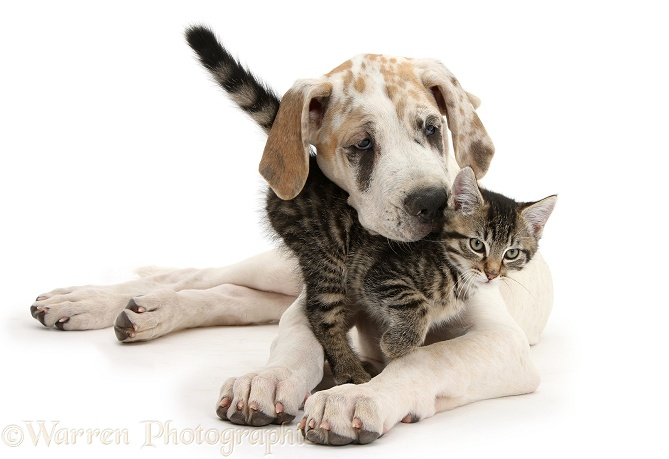 Tabby kitten, Fosset, 10 weeks old, with Great Dane pup, Tia, 14 weeks old, white background