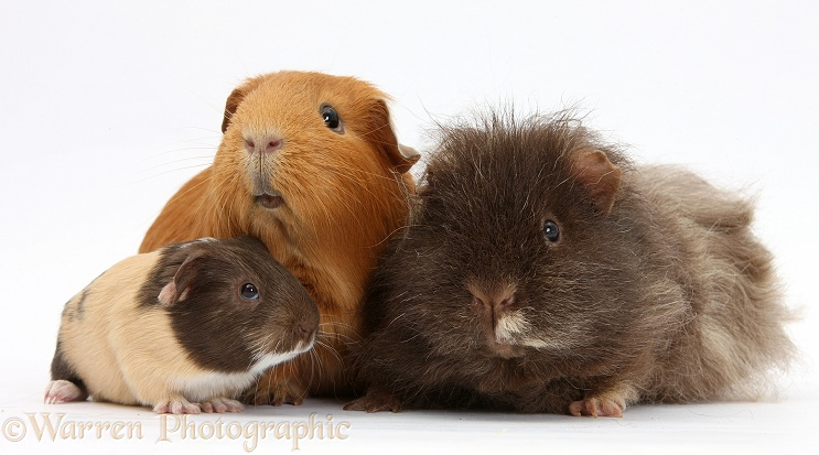 Mother and father Guinea pig with baby, white background