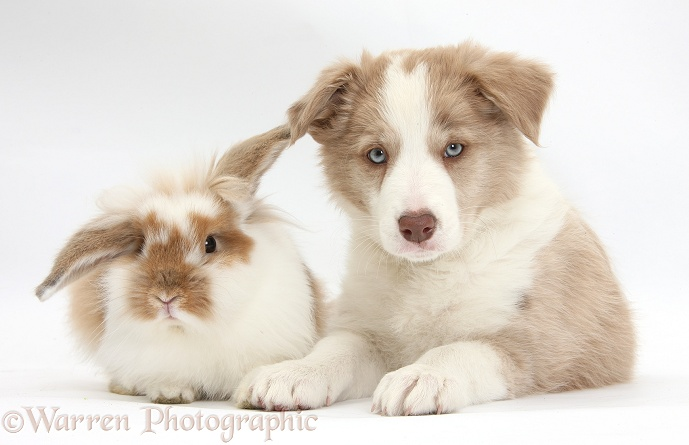 Lilac Border Collie pup and rabbit, white background