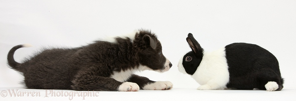 Blue-and-white Border Collie pup nose to nose with black Dutch rabbit, white background