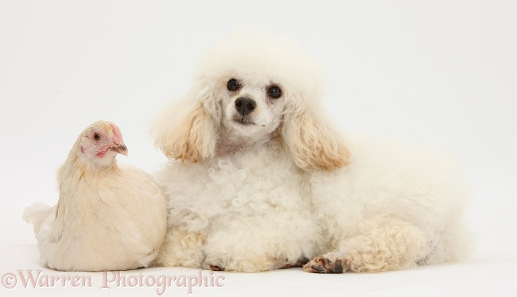 White Poodle dog, Casper, 1 years old, and white chicken, white background