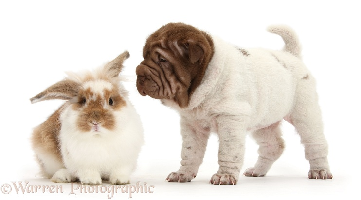 Shar Pei pup and rabbit, white background