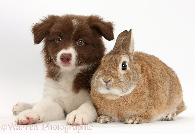 Chocolate Border Collie pup and Netherland Dwarf-cross rabbit, Peter, white background