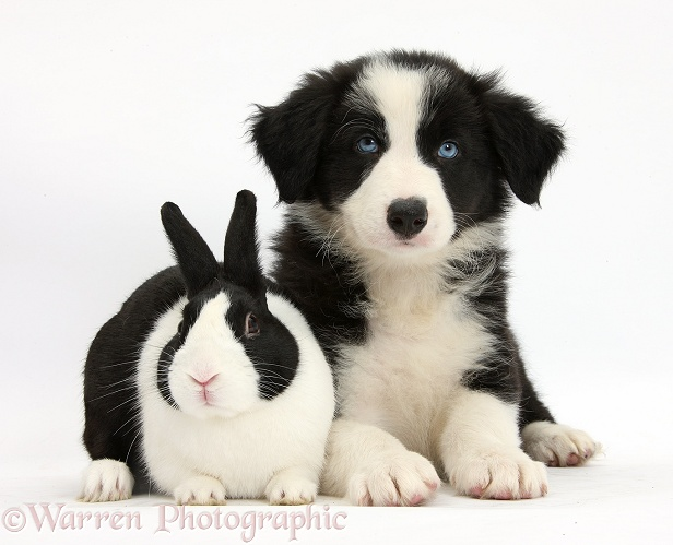 Black-and-white Border Collie pup and black Dutch rabbit, white background
