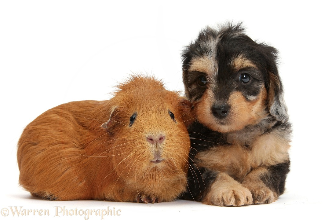 Black-and-tan Daxie-doodle pup and red Guinea pig, white background