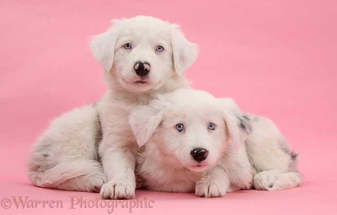 Mostly white Border Collie pups, Dash and Gracie, 8 weeks old, on pink background. One is unilaterally deaf and the other half deaf