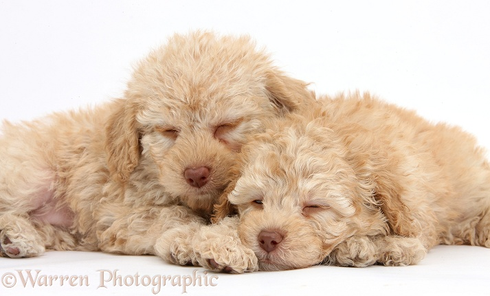 Two sleepy toy Labradoodle puppies, white background