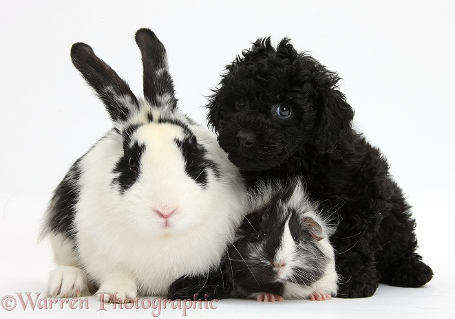 Black Toy Labradoodle puppy with black-and-white rabbit and Guinea pig, white background