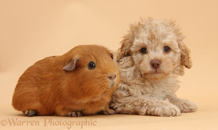 Toy Labradoodle puppy and red Guinea pig on beige background