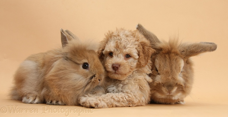 Toy Labradoodle puppy with Lionhead-cross rabbit, Tedson, and young fluffy rabbit on beige background