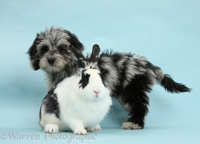 Fluffy black-and-grey Daxie-doodle pup, Pebbles, with black-and-white rabbit on blue background