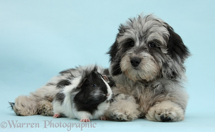 Fluffy black-and-grey Daxie-doodle pup, Pebbles, with black-and-white Guinea pig on blue background