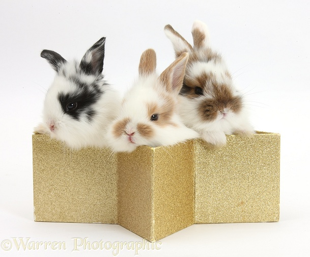 Three cute baby bunnies in a golden star box, white background
