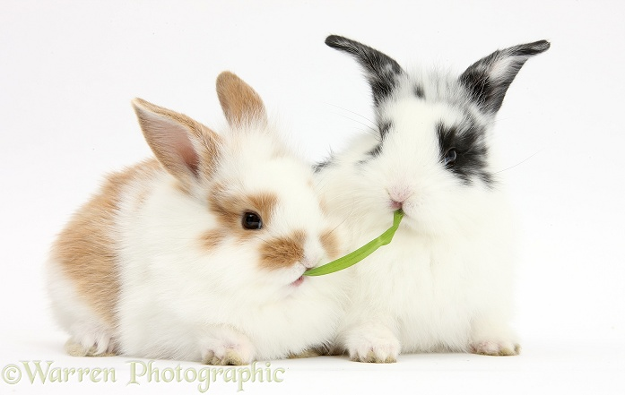 Young rabbits sharing a blade of grass, white background