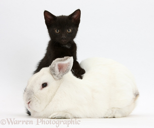 Black male kitten, Buxie, 8 weeks old, and elderly white rabbit, Foggy, 8 years old, white background