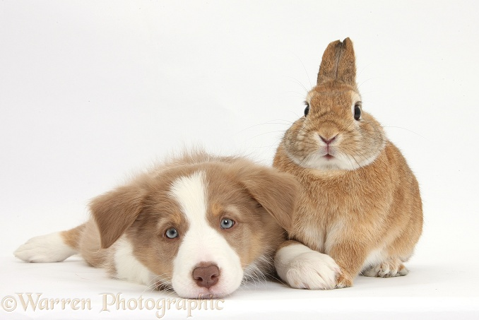Lilac Border Collie pup and Netherland dwarf-cross rabbit, Peter, white background