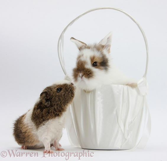 Young rabbit and frizzy Guinea pig with basket, white background