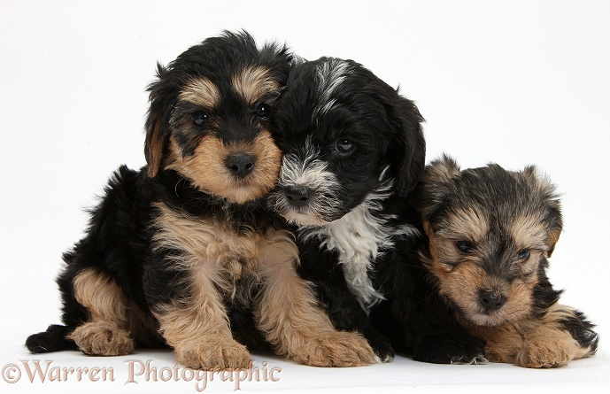 Three Yorkipoo pups, 7 weeks old, white background