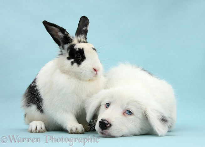 Mostly white Border Collie pup, Gracie, 8 weeks old, with black-and-white rabbit on blue background