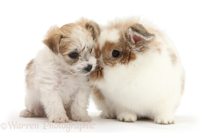 Bichon Frise x Yorkshire Terrier pup, 6 weeks old, and matching sandy-and-white rabbit, white background
