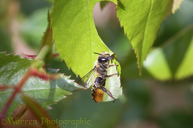 Leaf-cutting Bee (Megachile species) female about to fly off with section of rose leaf