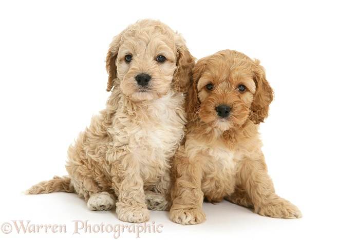 Two Cockapoo pups, white background