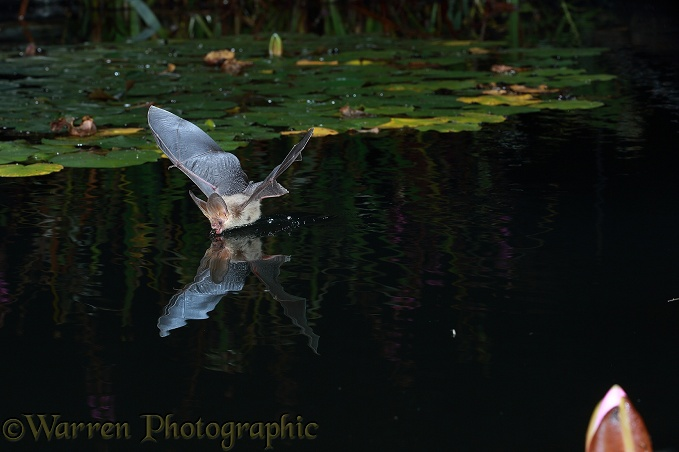 Brown Long-eared Bat (Plecotus auritus) drinking in flight from a lily pond
