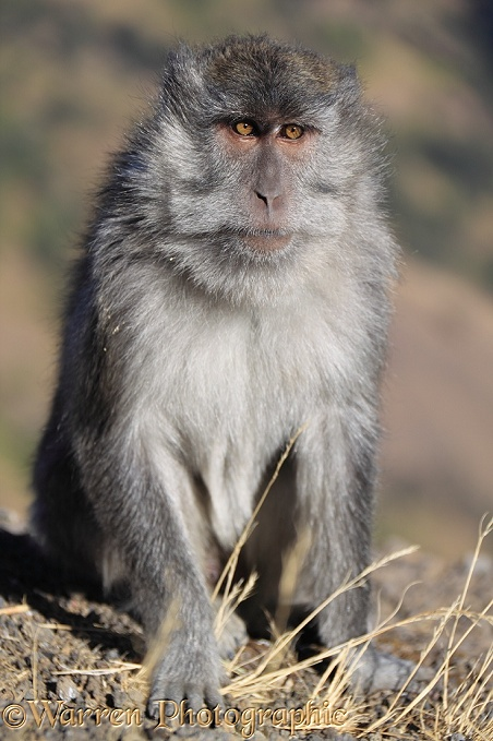 Long-tailed Macaque (Macaca fascicularis), at Rinjani.  South East Asia