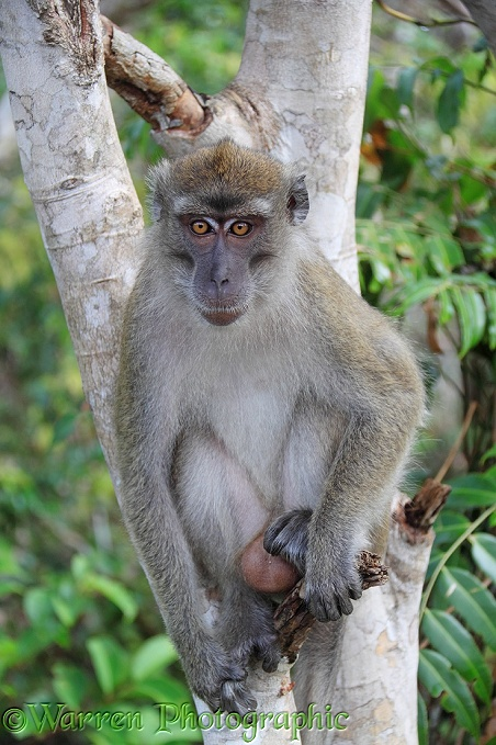 Crab-eating Macaque (Macaca fascicularis).  South East Asia