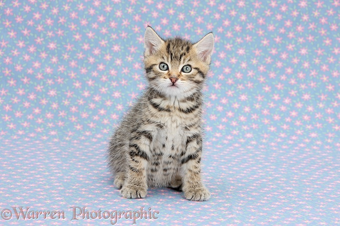 Cute tabby kitten, Stanley, 6 weeks old, on flowery background