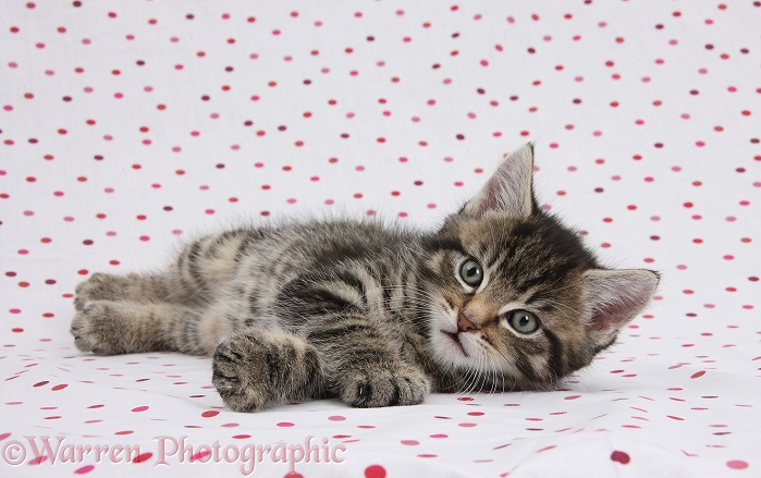 Cute tabby kitten, Fosset, 7 weeks old, on polka dot background