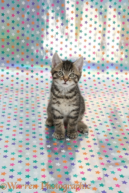 Cute tabby kitten, Fosset, 9 weeks old, sitting on starry background