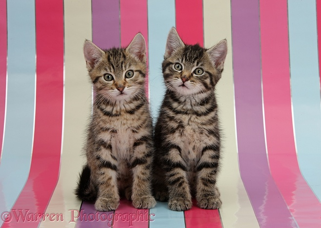 Cute tabby kittens, Stanley and Fosset, 9 weeks old, sitting on stripy background