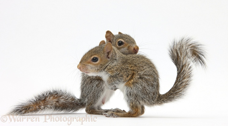 Young Grey Squirrels (Sciurus carolinensis), white background
