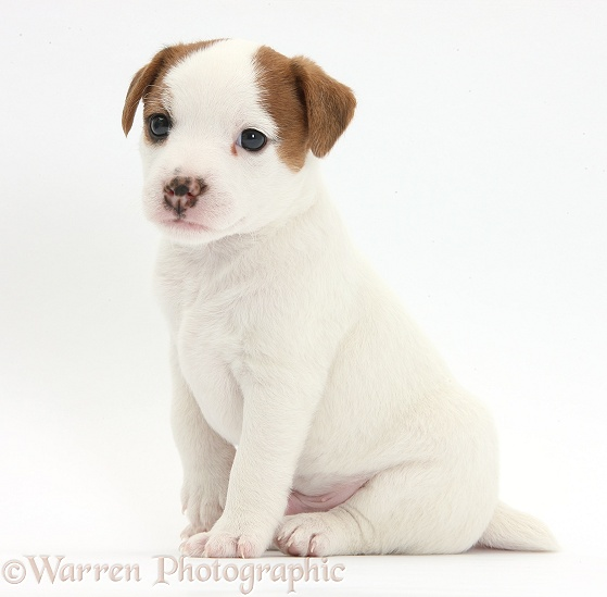 Jack Russell Terrier puppy, 4 weeks old, white background