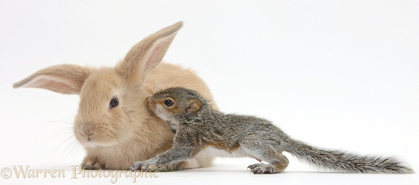 young grey squirrel and sandy rabbit photo   wp36449