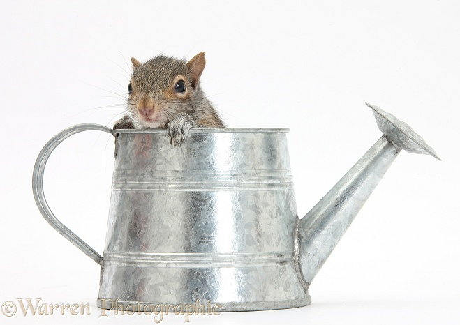 Young Grey Squirrel (Sciurus carolinensis) in a little metal watering can, white background