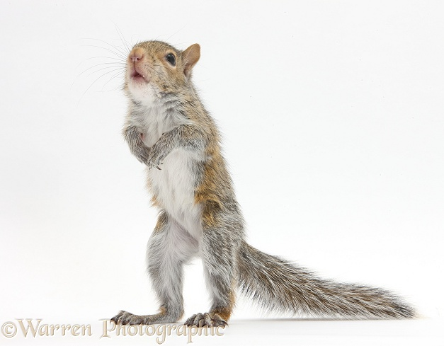 Young Grey Squirrel (Sciurus carolinensis) standing up, white background