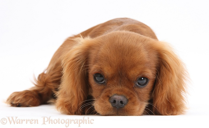 Ruby Cavalier King Charles Spaniel pup, Flame, 12 weeks old, with chin on the floor, white background
