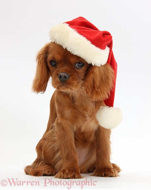 Ruby Cavalier King Charles Spaniel pup, Flame, 12 weeks old, wearing a Father Christmas hat, white background