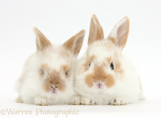 Two cute baby rabbits, white background