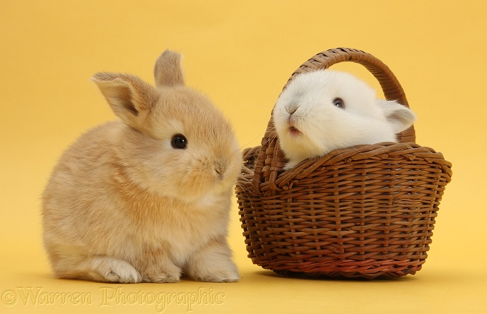 Cute young Sandy and white rabbits with wicker basket on yellow background
