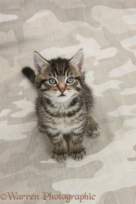 Cute tabby kitten, Fosset, 7 weeks old, sitting on khaki camouflage background and looking up