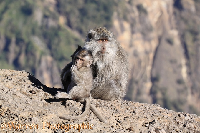 Long-tailed Macaque (Macaca fascicularis) mother and baby, at Rinjani.  South East Asia