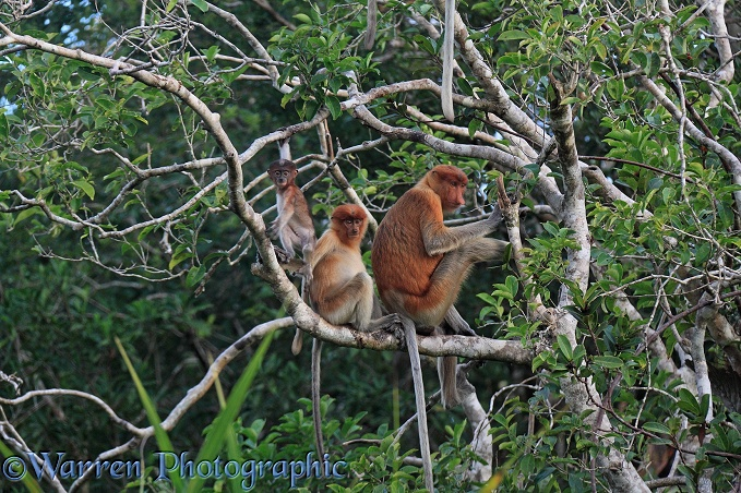 Mother and young Proboscis Monkeys (Nasalis larvatus) sitting on a branch.  Borneo