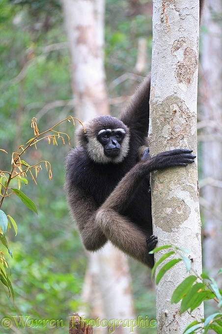 Bornean white-bearded gibbon, (Hylobates albibarbis).  South west Borneo